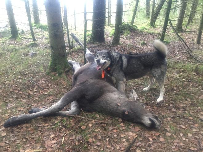Torbjörn Stenssons jaktmaskin Kasper fixade en älgkalv åt mig
