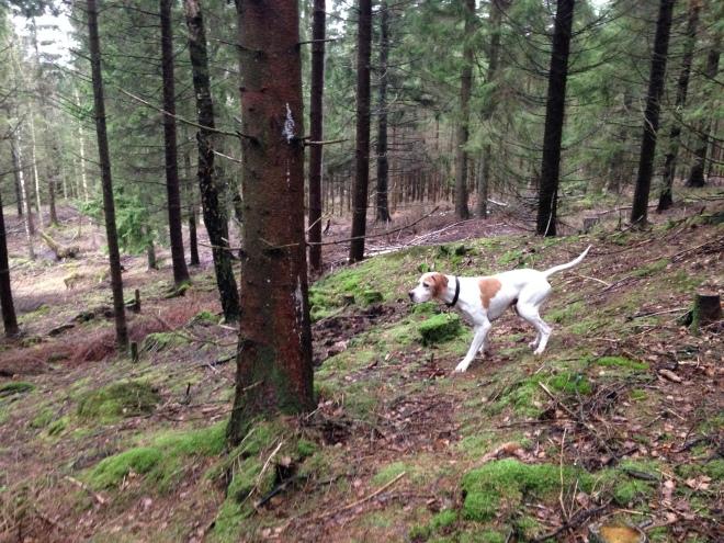 Stenbitens Epson står för morkulla i gallringsskogen