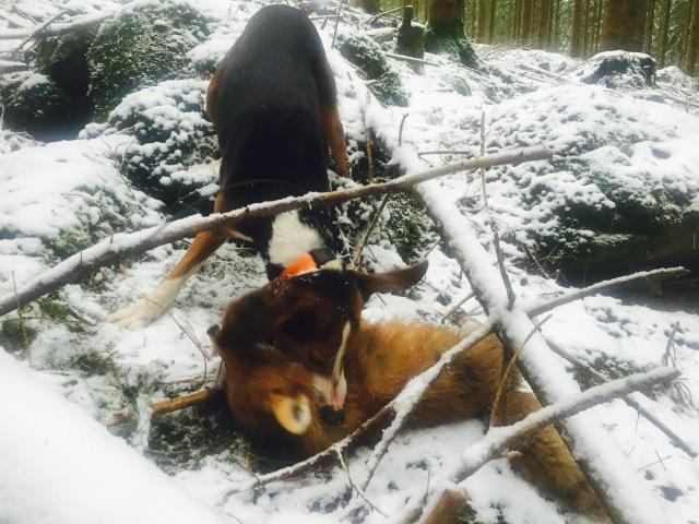 Banjo ruskar om den fallna räven efter tre och en halv timmas drev.