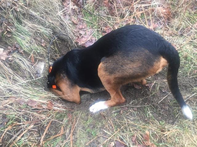 Banjo skäller i vägtrumman där drevräven kröp in.